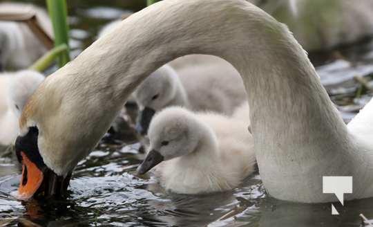 May 17 swans299