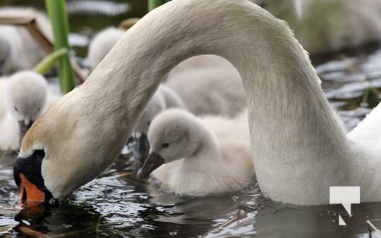 May 17 swans300