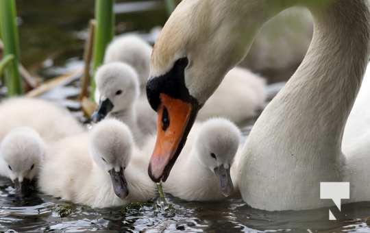May 17 swans301
