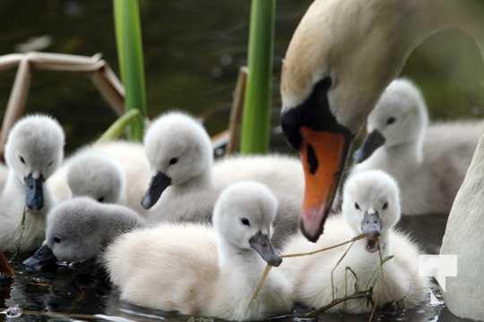 May 17 swans302