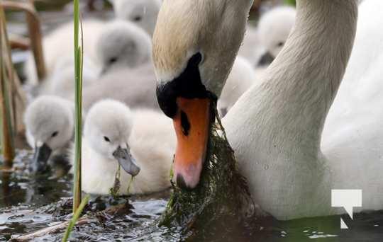 May 17 swans303