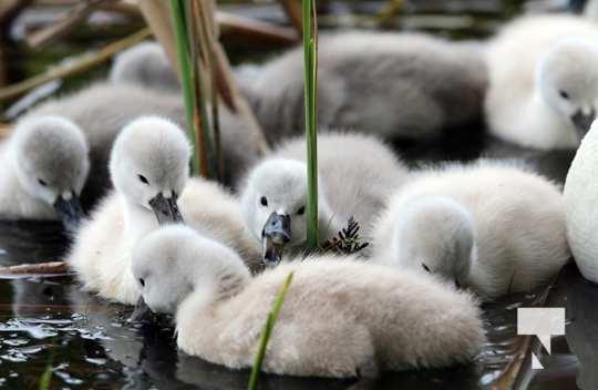 May 17 swans304
