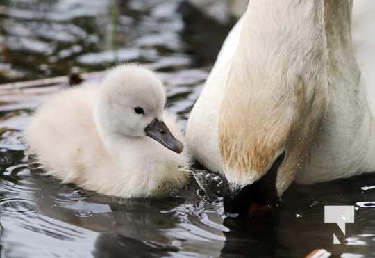 May 17 swans305