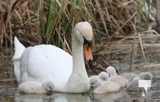 May 17 swans308