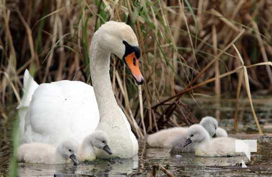 May 17 swans310