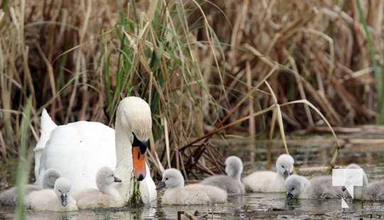May 17 swans311