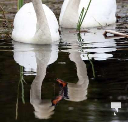 May 17 swans312