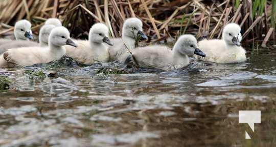 May 17 swans313