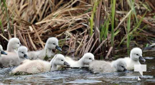 May 17 swans314