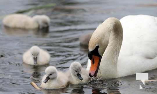 May 17 swans316