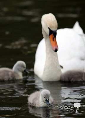 May 17 swans317