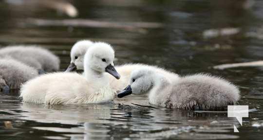 May 17 swans318