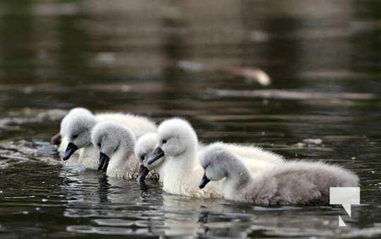 May 17 swans319