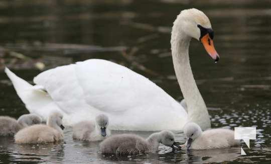 May 17 swans320