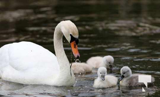May 17 swans321