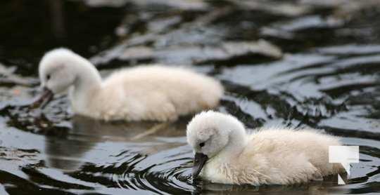 May 17 swans322