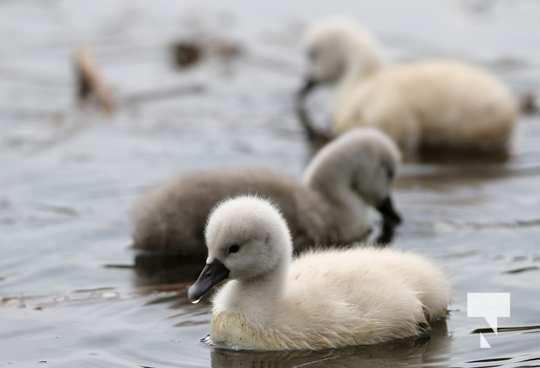 May 17 swans323