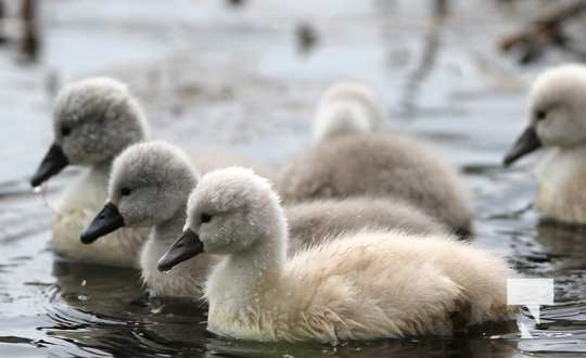 May 17 swans324