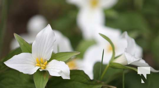 May 17 trilliums330