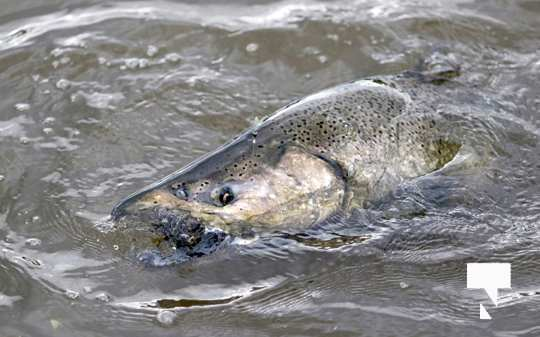 Ganaraska River Fish434