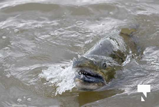 Ganaraska River Fish435
