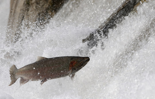 Rainbow Trout Port Hope March 30, 2021868