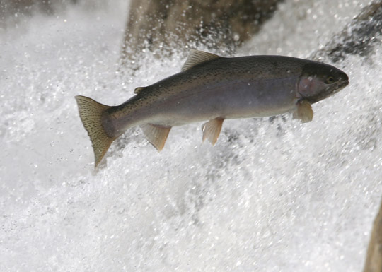 Rainbow Trout Port Hope March 30, 2021878