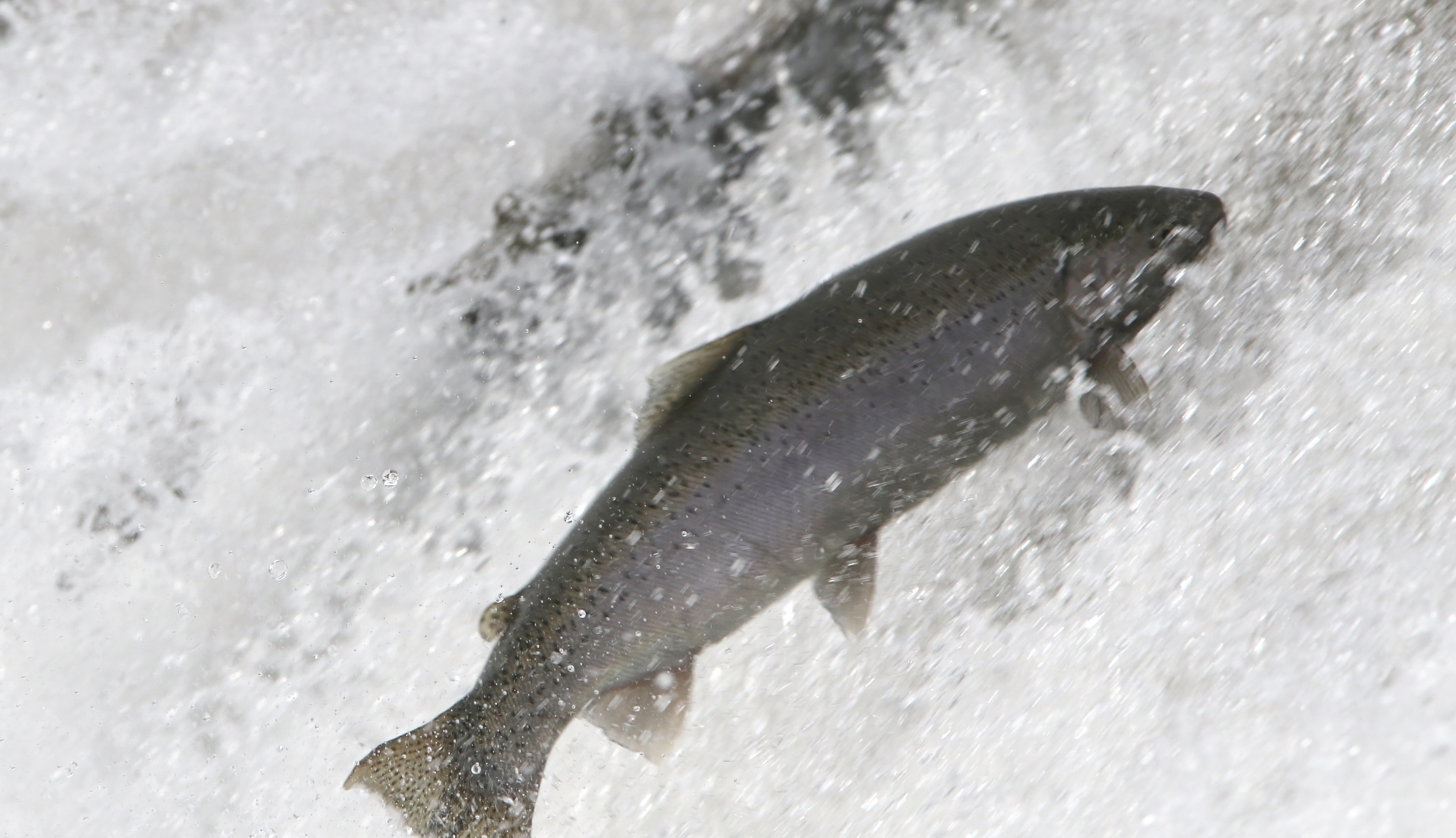 Rainbow Trout Port Hope March 30, 2021879
