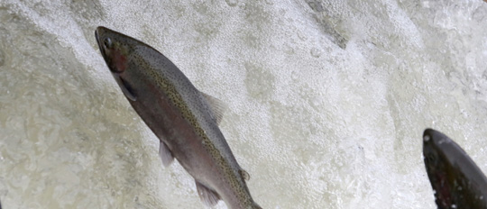 Rainbow Trout Port Hope March 30, 2021881