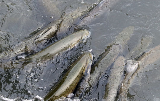 Rainbow Trout Port Hope March 30, 2021882