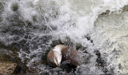 Rainbow Trout Port Hope March 30, 2021883