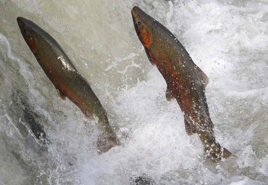 Rainbow Trout Port Hope March 30, 2021892