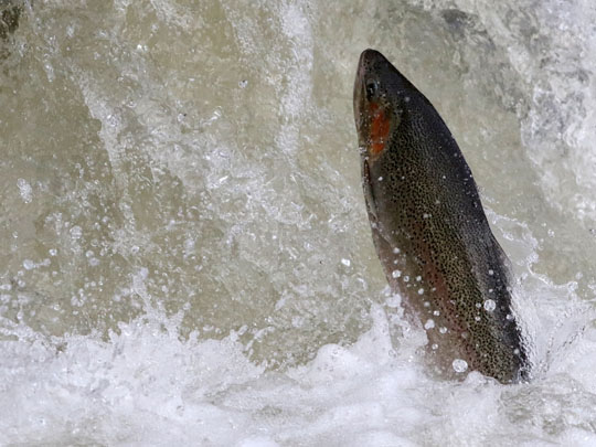 Rainbow Trout Port Hope March 30, 2021898