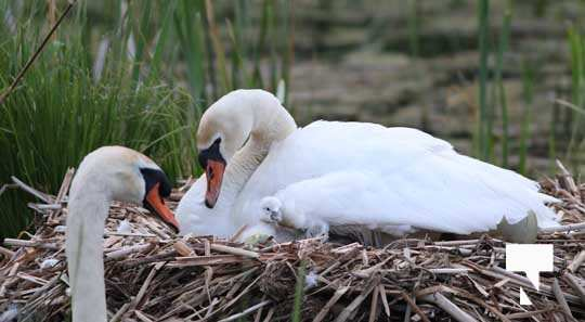 Swans May 22, 20212272