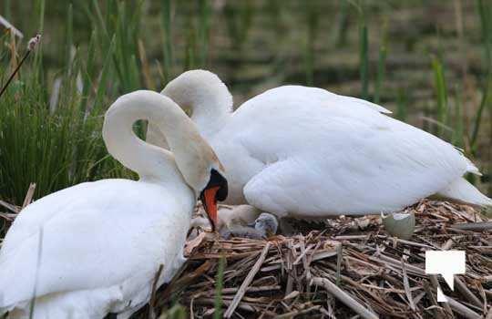 Swans May 22, 20212273