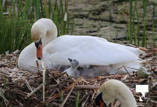 Swans May 22, 20212275