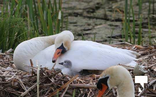 Swans May 22, 20212276
