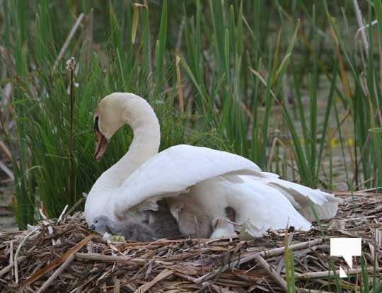 Swans May 22, 20212277