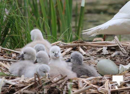Swans May 22, 20212278