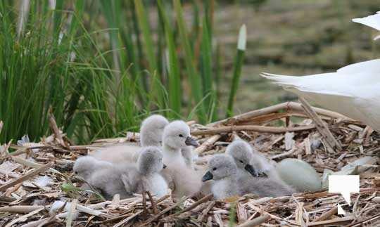 Swans May 22, 20212283