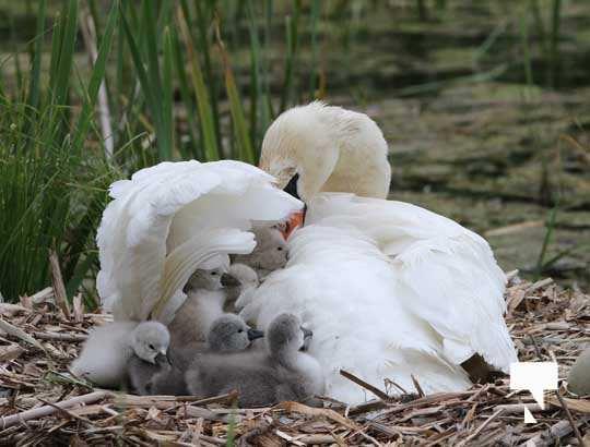 Swans May 22, 20212285