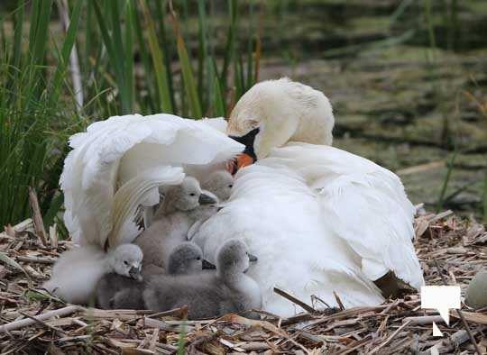 Swans May 22, 20212286