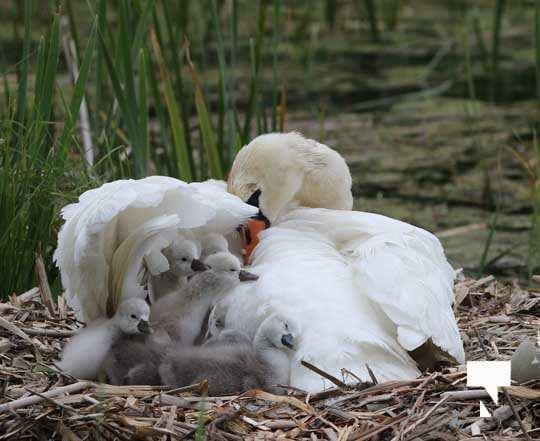 Swans May 22, 20212287