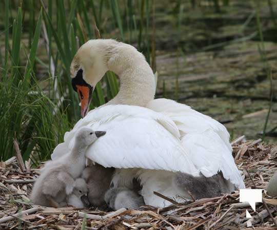 Swans May 22, 20212288