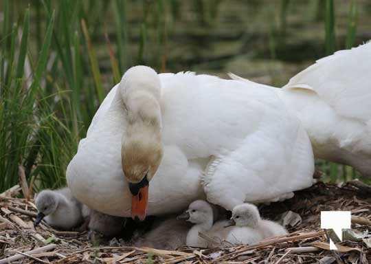 Swans May 22, 20212289