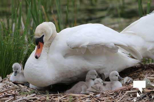 Swans May 22, 20212290