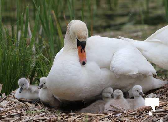 Swans May 22, 20212291