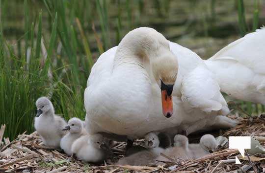 Swans May 22, 20212292