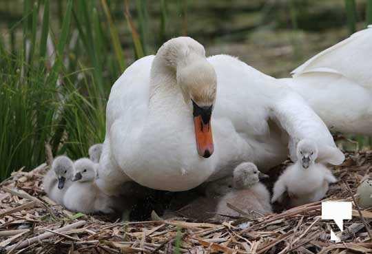 Swans May 22, 20212293