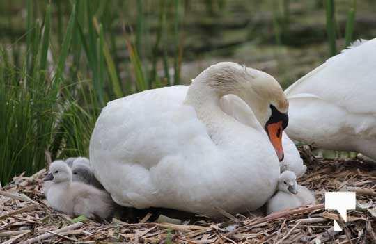 Swans May 22, 20212294